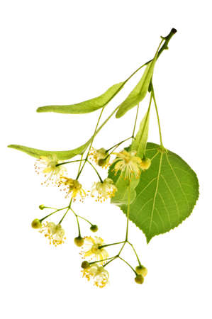 Isolated image of yellow linden flower and branch