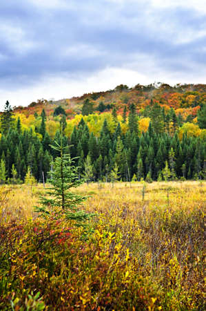 algonquin park: Fall forest with colorful trees and new saplings