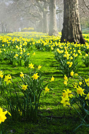 Blooming daffodils in St Jamess Park in London photo
