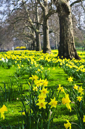 perennials: Blooming daffodils in St Jamess Park in London