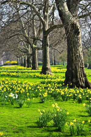 st jamess: Blooming daffodils in St Jamess Park in London