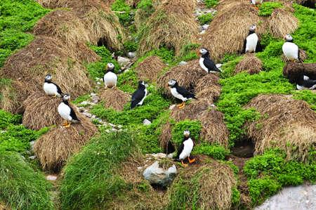 nfld: Puffin birds nesting on island in Newfoundland, Canada Stock Photo