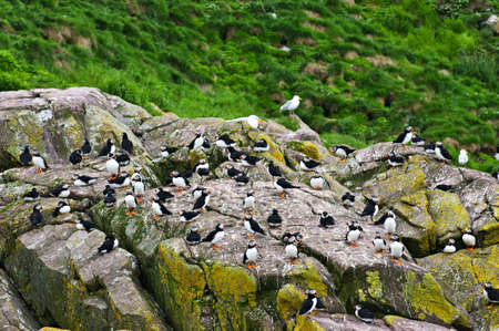 nfld: Puffin birds on rocky island in Newfoundland, Canada