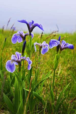 blueflag: Flores de wild iris de bandera azul en Terranova Canad�