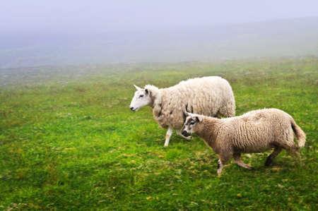 Two sheep walking in foggy field of Newfoundland, Canada photo