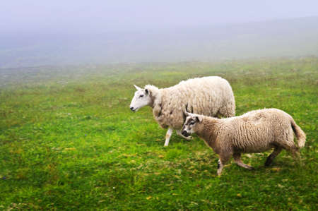 nfld: Two sheep walking in foggy field of Newfoundland, Canada
