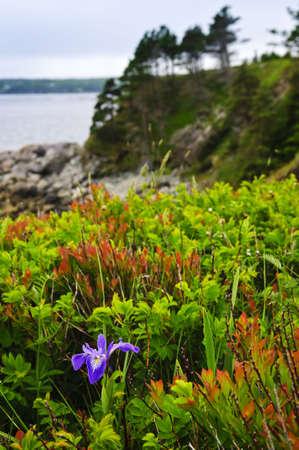 blueflag: Flor de silvestre de iris de bandera azul en la costa atl�ntica de Canad� de Terranova