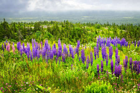 Purple and pink garden lupin wild flowers in Newfoundland photo