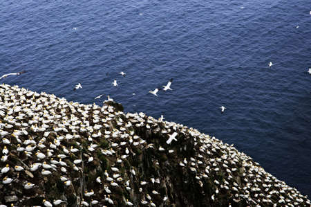 nfld: Northern gannets at Cape St. Marys Ecological Bird Sanctuary in Newfoundland