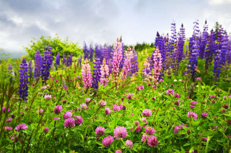 Purple and pink clover and garden lupin wildflowers in Newfoundland photo