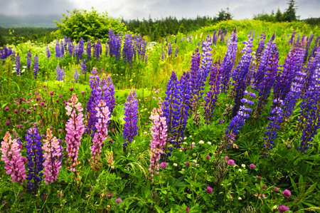 Newfoundland: Newfoundland wilderness landscape with purple lupin flowers