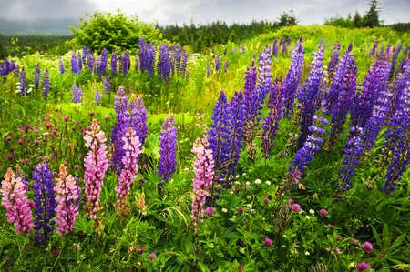 Paisaje de desierto de Newfoundland con flores de color púrpura lupin  Foto de archivo - 6166784