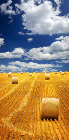 hay field: Agricultural landscape of hay bales in a golden field