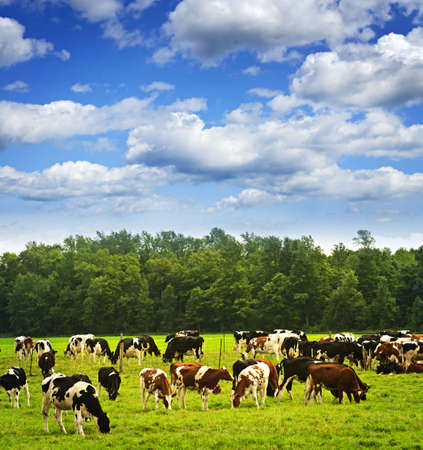 grazing land: Cows grazing in a green pasture on sustainable small scale farm