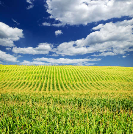 cornfield: Agricultural landscape of corn field on small scale sustainable farm Stock Photo