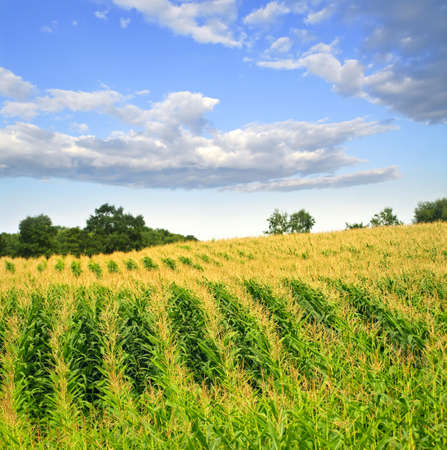 corn crop: Agricultural landscape of corn field on small scale sustainable farm Stock Photo