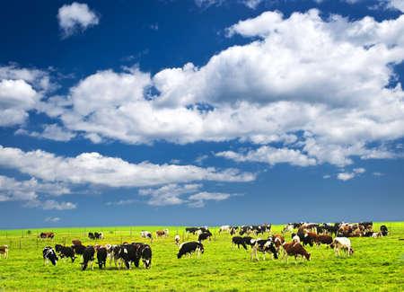 boeufs: Vaches qui paissent dans un p�turage vert � la ferme durable � petite �chelle Banque d'images