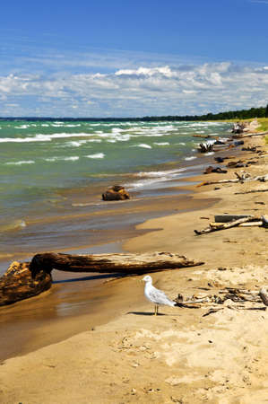pinery: Driftwood on sandy beach with waves and seagull. Pinery provincial park, Ontario Canada