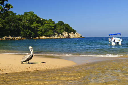 Pelican on beach near Pacific ocean in Mexico Stock Photo - 6526969