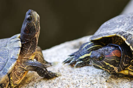 Two red eared slider turtles sitting on rock photo