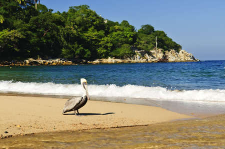 Pelican on beach near Pacific ocean in Mexico photo