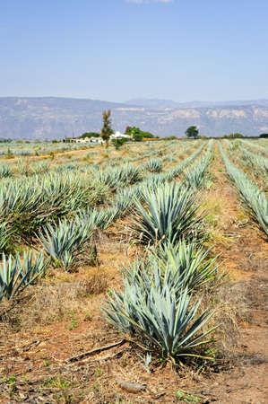 agave: Agave cactus de campo cerca de Tequila en México Foto de archivo