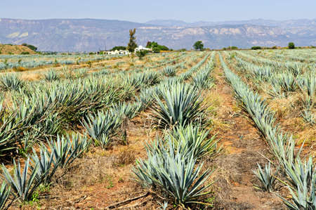 tequila: Agave cactus field near Tequila in Mexico