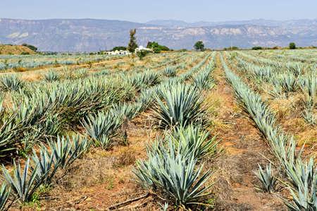 agave: Campo de cactus de Agave cerca de tequila en M�xico