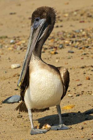 Pelican on Puerto Vallarta beach in Mexico photo