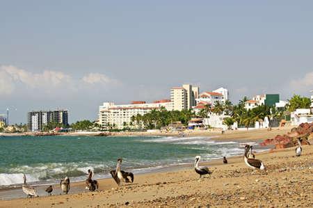 Pelicans on Puerto Vallarta beach in Mexico photo