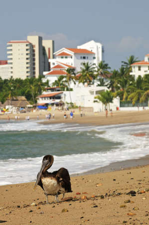 Pelican on Puerto Vallarta beach in Mexico Stock Photo - 6648815