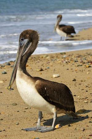 Pelicans on Puerto Vallarta beach in Mexico Stock Photo - 6648772