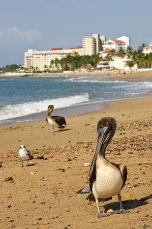 Pelicans on Puerto Vallarta beach in Mexico Stock Photo - 6677349