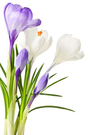 White and purple spring crocus flowers isolated on white background Reklamní fotografie - 6698368