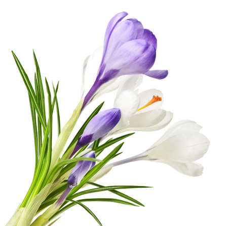 White and purple spring crocus flowers isolated on white background