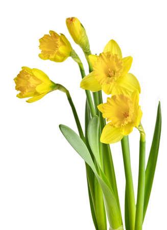 Fleurs jaunes daffodil, isolés sur fond blanc de printemps. Banque d'images