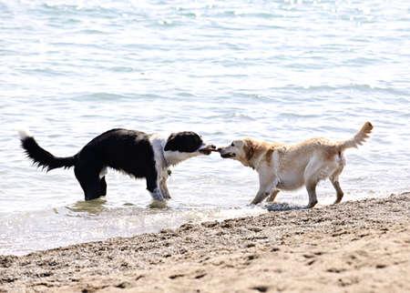 tug o war: Dos perros jugando tira y afloja con palo en la playa