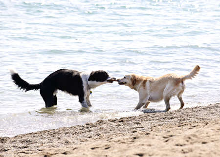 Two dogs playing tug of war with stick on the beach Stock Photo