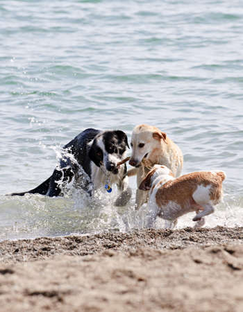 Three dogs playing and splashing in water at the beach