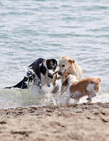 perros jugando: Tres perros jugando y chapoteando en el agua en la playa  Foto de archivo