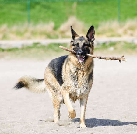 retrieve: Healthy and active German Shepherd dog fetching stick on beach Stock Photo