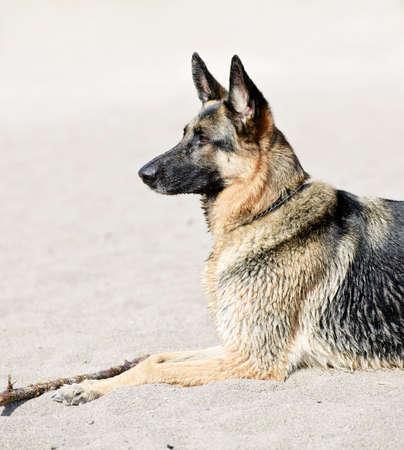 Healthy German Shepherd dog lying on sandy beach photo