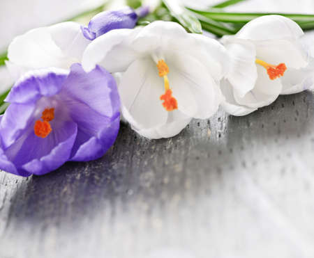 Fresh cut white and purple spring crocus flowers