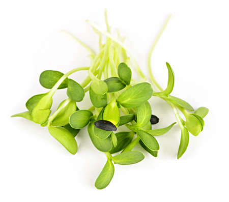 Organic green young sunflower sprouts isolated on white background photo