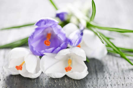 Fresh cut white and purple spring crocus flowers photo