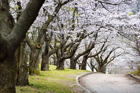 Row of blooming apple trees in spring orchard Stock Photo