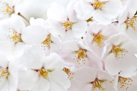 春の繊細なリンゴの木の花クローズ アップ
