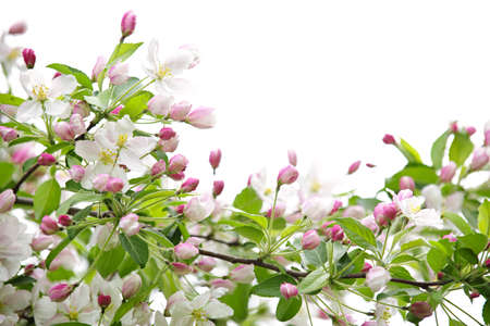 White and pink blossoms on apple tree branches on white background photo