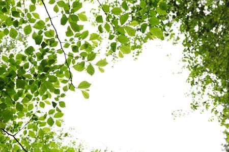 bladeren: Groene voorjaar verlaat geïsoleerd op witte achtergrond