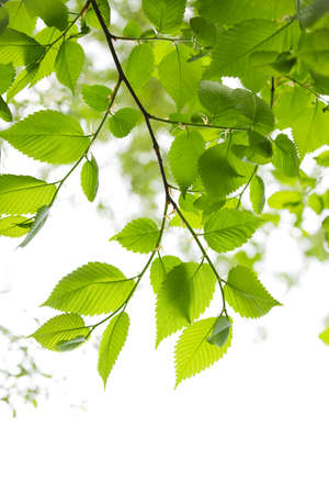 Green spring leaves isolated on white background Stock Photo - 7166374